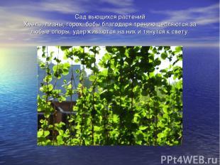 Сад вьющихся растений Хмель, лианы, горох, бобы благодаря трению цепляются за лю