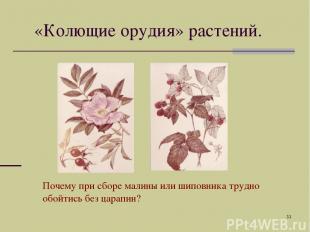 * «Колющие орудия» растений. Почему при сборе малины или шиповника трудно обойти