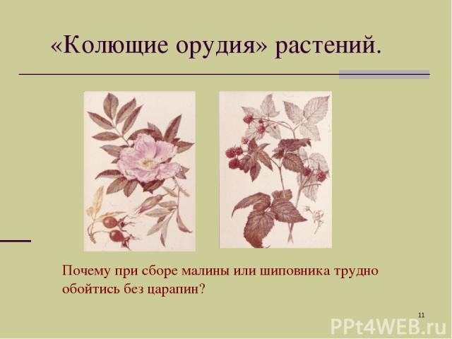 * «Колющие орудия» растений. Почему при сборе малины или шиповника трудно обойтись без царапин?