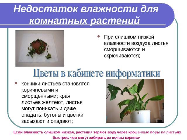 Недостаток влажности для комнатных растений При слишком низкой влажности воздуха листья сморщиваются и скрючиваются; кончики листьев становятся коричневыми и сморщенными; края листьев желтеют, листья могут поникать и даже опадать; бутоны и цветки за…