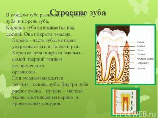 Строение зуба В каждом зубе различают : коронку зуба и корень зуба. Коронка зуба