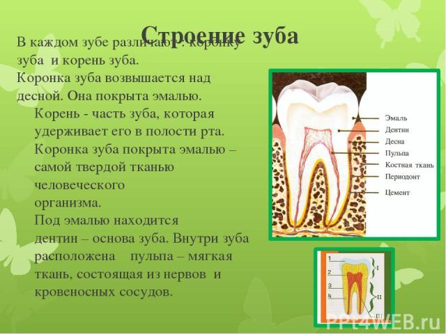 Строение зуба В каждом зубе различают : коронку зуба и корень зуба. Коронка зуба возвышается над десной. Она покрыта эмалью. Корень - часть зуба, которая удерживает его в полости рта. Коронка зуба покрыта эмалью – самой твердой тканью человеческого …