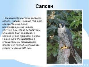 Примером II категории является сапсан. Сапсан - хищная птица из семейства соколи