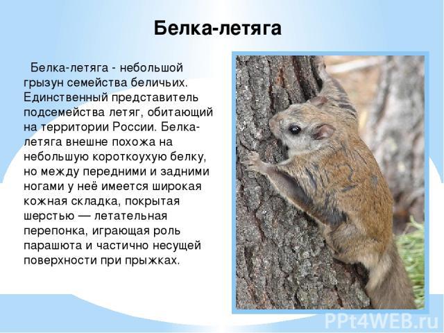 Белка-летяга - небольшой грызун семейства беличьих. Единственный представитель подсемейства летяг, обитающий на территории России. Белка-летяга внешне похожа на небольшую короткоухую белку, но между передними и задними ногами у неё имеется широкая к…