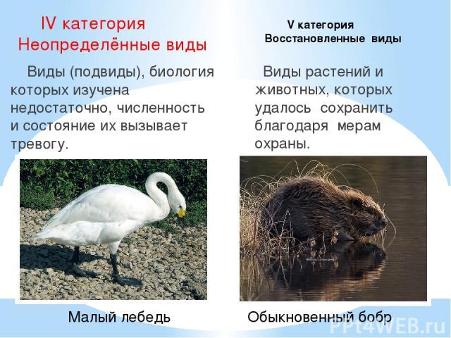 IV категория Неопределённые виды Виды (подвиды), биология которых изучена недостаточно, численность и состояние их вызывает тревогу. Виды растений и животных, которых удалось сохранить благодаря мерам охраны. V категория Восстановленные виды Малый л…