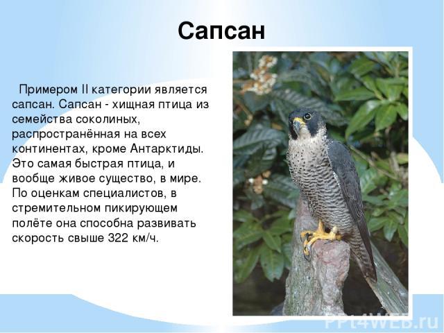 Примером II категории является сапсан. Сапсан - хищная птица из семейства соколиных, распространённая на всех континентах, кроме Антарктиды. Это самая быстрая птица, и вообще живое существо, в мире. По оценкам специалистов, в стремительном пикирующе…