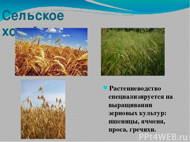 Сельское хозяйство Растениеводство специализируется на выращивании зерновых культур: пшеницы, ячменя, проса, гречихи.