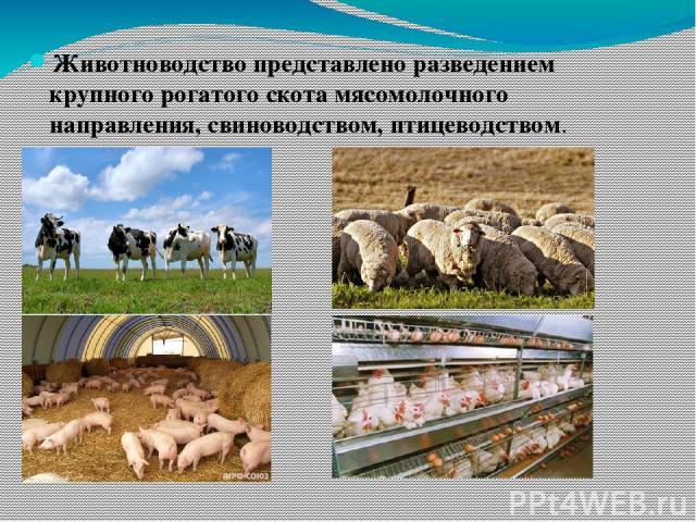 Животноводство представлено разведением крупного рогатого скота мясомолочного направления, свиноводством, птицеводством.