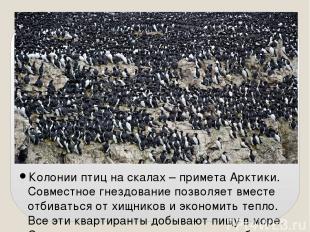 Колонии птиц на скалах – примета Арктики. Совместное гнездование позволяет вмест