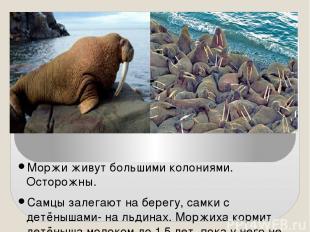 Моржи живут большими колониями. Осторожны. Самцы залегают на берегу, самки с дет