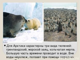 Для Арктики характерны три вида тюленей: гренландский, морской заяц, кольчатая н
