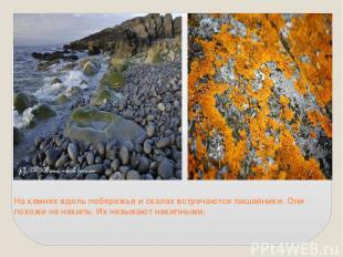 На камнях вдоль побережья и скалах встречаются лишайники. Они похожи на накипь.