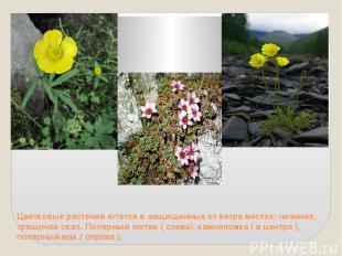 Цветковые растения ютятся в защищенных от ветра местах: низинах, трещинах скал.