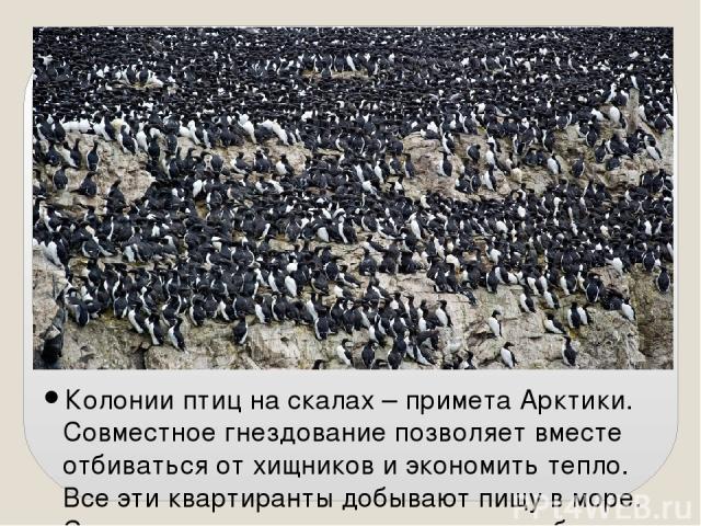 Колонии птиц на скалах – примета Арктики. Совместное гнездование позволяет вместе отбиваться от хищников и экономить тепло. Все эти квартиранты добывают пищу в море. С середины августа опустеют птичьи базары, чтобы в мае вновь наполнить скалы шумом.