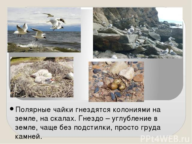 Полярные чайки гнездятся колониями на земле, на скалах. Гнездо – углубление в земле, чаще без подстилки, просто груда камней. Корм добывают как в море, так и на земле. Редко ныряют. Поедают рыбу, рачков, моллюсков, насекомых, разоряют гнезда других …