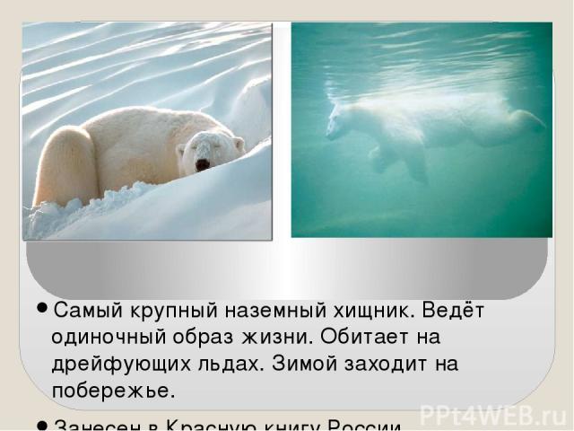 Самый крупный наземный хищник. Ведёт одиночный образ жизни. Обитает на дрейфующих льдах. Зимой заходит на побережье. Занесен в Красную книгу России.