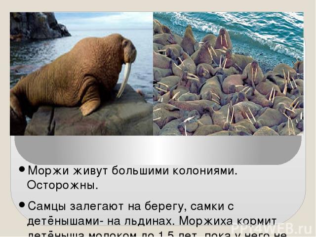 Моржи живут большими колониями. Осторожны. Самцы залегают на берегу, самки с детёнышами- на льдинах. Моржиха кормит детёныша молоком до 1,5 лет, пока у него не вырастут клыки. Кормящийся морж плывёт у дна, прокладывая клыками борозду, на ходу выбира…