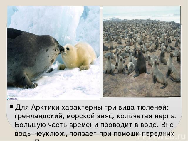 Для Арктики характерны три вида тюленей: гренландский, морской заяц, кольчатая нерпа. Большую часть времени проводит в воде. Вне воды неуклюж, ползает при помощи передних ласт. Покидает воду для отдыха, сна, размножения и линьки. Новорожденный тюлен…