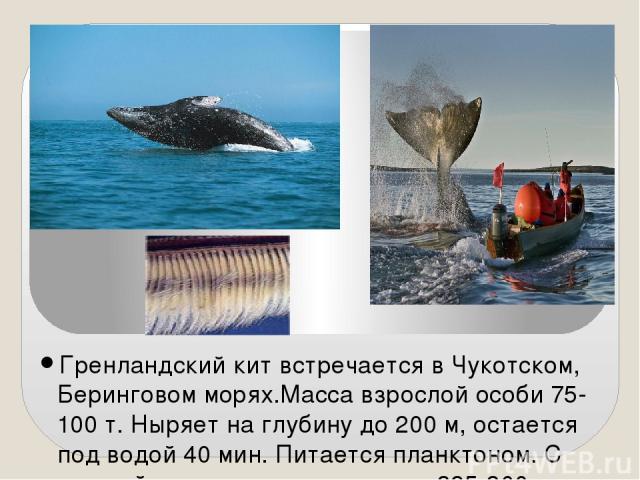 Гренландский кит встречается в Чукотском, Беринговом морях.Масса взрослой особи 75-100 т. Ныряет на глубину до 200 м, остается под водой 40 мин. Питается планктоном. С каждой стороны пасти свисают 325-360 пластинок китового уса длиной до 4 м.Во врем…