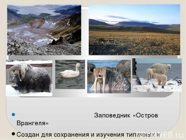 Заповедник «Остров Врангеля» Создан для сохранения и изучения типичных и уникальных экосистем островнойАрктики, а также таких видов как белый медведь, морж, на острове единственная в России гнездовая популяция белого гуся. На острове акклиматизиро…