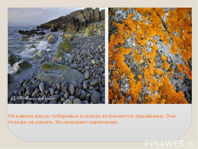 На камнях вдоль побережья и скалах встречаются лишайники. Они похожи на накипь. Их называют накипными.