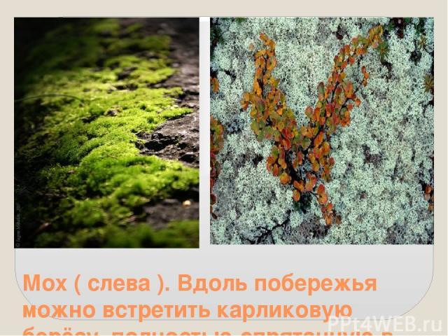 Мох ( слева ). Вдоль побережья можно встретить карликовую берёзу, полностью спрятанную в мох ( справа ).