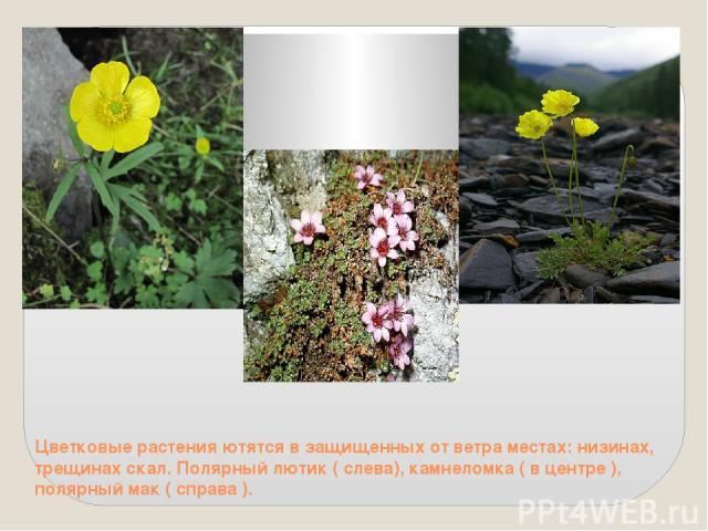 Цветковые растения ютятся в защищенных от ветра местах: низинах, трещинах скал. Полярный лютик ( слева), камнеломка ( в центре ), полярный мак ( справа ).