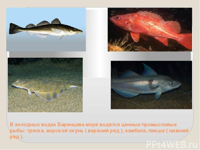 В холодных водах Баренцева моря водятся ценные промысловые рыбы: треска, морской окунь ( верхний ряд ), камбала, пикша ( нижний ряд ).
