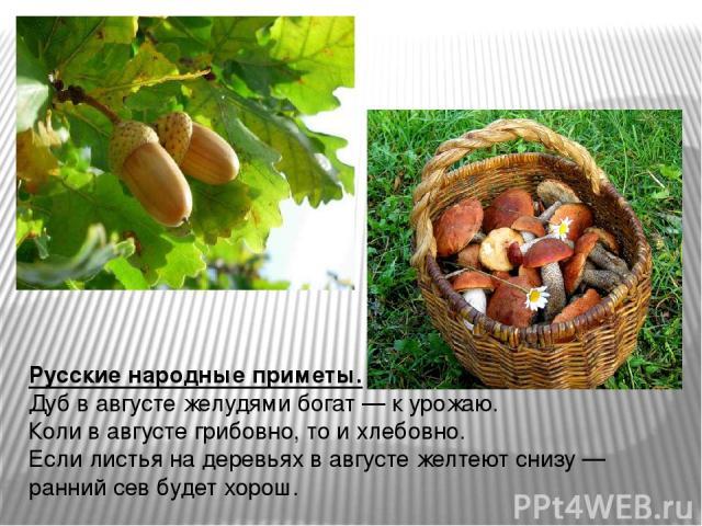Русские народные приметы. Дуб в августе желудями богат— к урожаю. Коли в августе грибовно, то и хлебовно. Если листья на деревьях в августе желтеют снизу— ранний сев будет хорош.