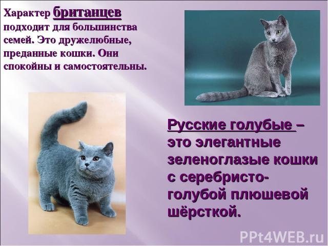 Русские голубые – это элегантные зеленоглазые кошки с серебристо-голубой плюшевой шёрсткой. Характер британцев подходит для большинства семей. Это дружелюбные, преданные кошки. Они спокойны и самостоятельны.