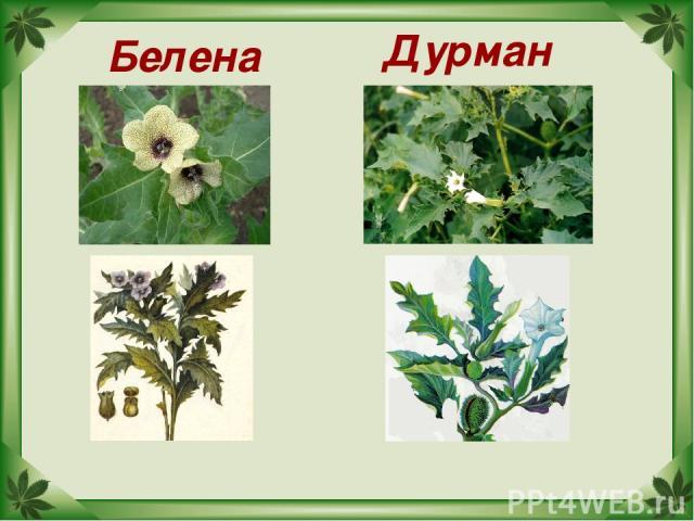 Белена Дурман