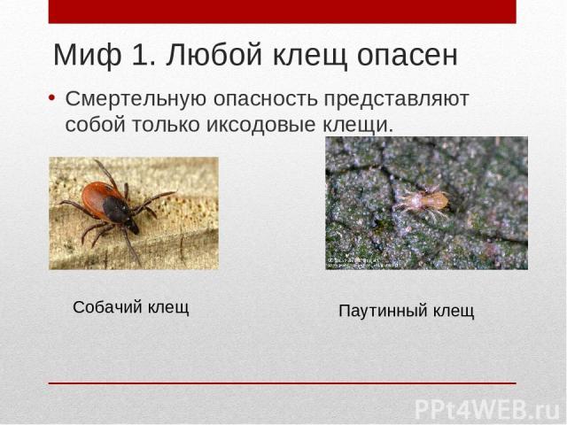 Миф 1. Любой клещ опасен Смертельную опасность представляют собой только иксодовые клещи. Собачий клещ Паутинный клещ