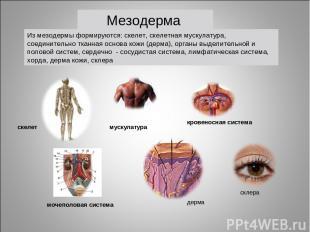 мускулатура кровеносная система скелет мочеполовая система Из мезодермы формирую