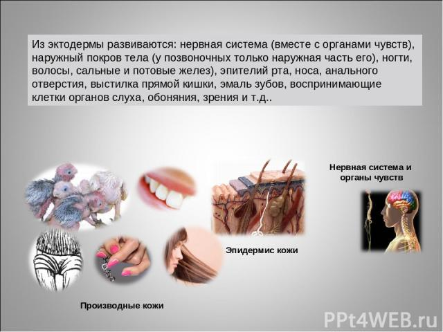 Нервная система и органы чувств Эпидермис кожи Производные кожи Из эктодермы развиваются: нервная система (вместе с органами чувств), наружный покров тела (у позвоночных только наружная часть его), ногти, волосы, сальные и потовые желез), эпителий р…