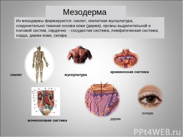 мускулатура кровеносная система скелет мочеполовая система Из мезодермы формируются: скелет, скелетная мускулатура, соединительно тканная основа кожи (дерма), органы выделительной и половой систем, сердечно - сосудистая система, лимфатическая систем…
