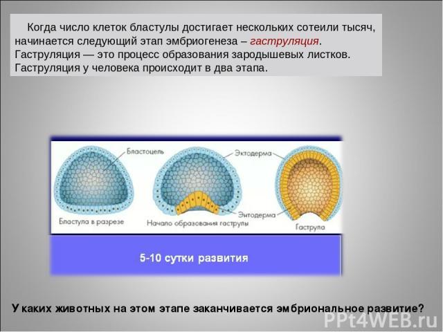 Когда число клеток бластулы достигает нескольких сотеили тысяч, начинается следующий этап эмбриогенеза – гаструляция. Гаструляция — это процесс образования зародышевых листков. Гаструляция у человека происходит в два этапа. У каких животных на этом …