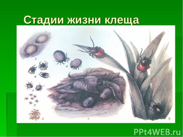 Стадии жизни клеща Личинка (размер 0,5мм) Нимфа (размер 1,5мм) Взрослый клещ (имаго) (размер 2.5мм)