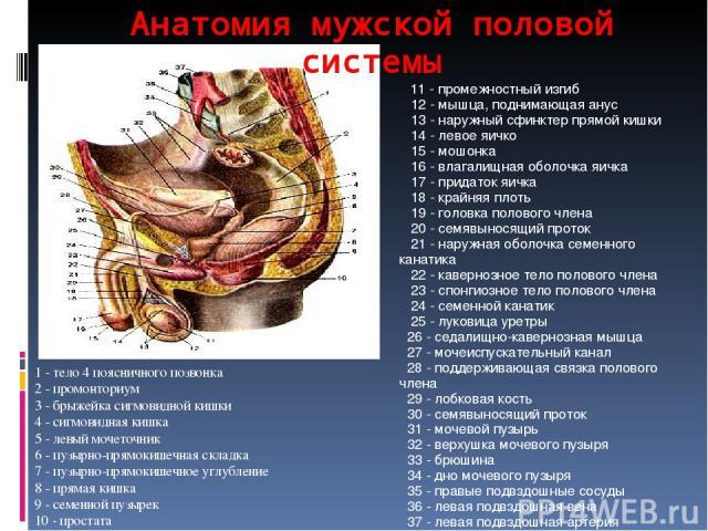 Анатомия мужской половой системы 1 - тело 4 поясничного позвонка 2 - промонториум 3 - брыжейка сигмовидной кишки 4 - сигмовидная кишка 5 - левый мочеточник 6 - пузырно-прямокишечная складка 7 - пузырно-прямокишечное углубление 8 - прямая кишка 9 - с…