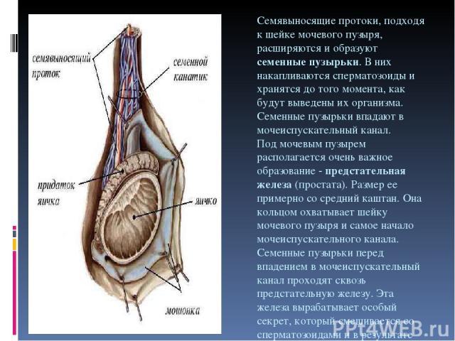 Семявыносящие протоки, подходя к шейке мочевого пузыря, расширяются и образуют семенные пузырьки. В них накапливаются сперматозоиды и хранятся до того момента, как будут выведены их организма. Семенные пузырьки впадают в мочеиспускательный канал. По…