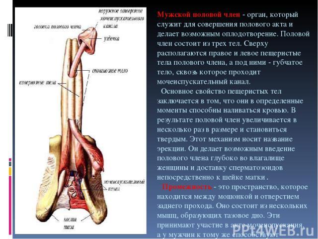 Мужской половой член - орган, который служит для совершения полового акта и делает возможным оплодотворение. Половой член состоит из трех тел. Сверху располагаются правое и левое пещеристые тела полового члена, а под ними - губчатое тело, сквозь кот…