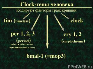 Clock-гены человека Кодируют факторы транскрипции mPer1 и mPer2 очень чувствител