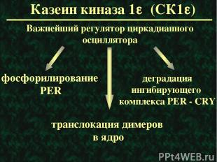 Казеин киназа 1e (СК1e) Важнейший регулятор циркадианного осциллятора фосфорилир