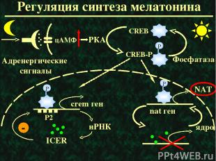 Регуляция синтеза мелатонина РКА ядро