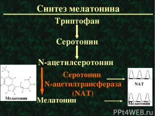 Синтез мелатонина Триптофан Серотонин N-ацетилсеротонин Мелатонин Серотонин N-ац