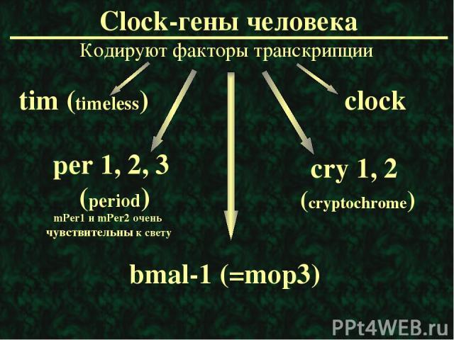 Clock-гены человека Кодируют факторы транскрипции mPer1 и mPer2 очень чувствительны к свету per 1, 2, 3 (period) cry 1, 2 (cryptochrome) bmal-1 (=mop3) clock tim (timeless)