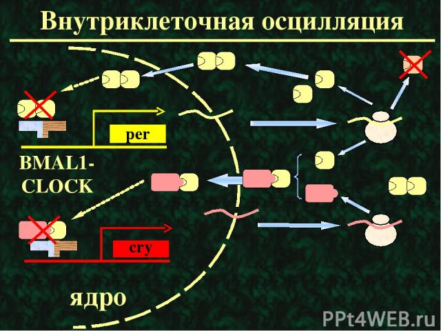 Внутриклеточная осцилляция ядро