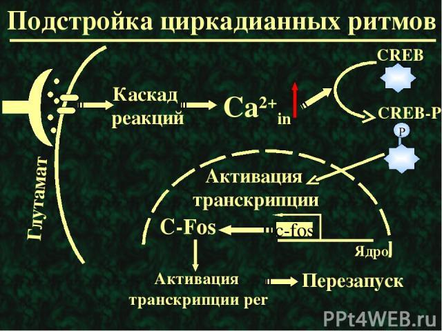 Подстройка циркадианных ритмов Каскад реакций С-Fos Активация транскрипции per Перезапуск Ядро