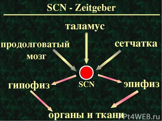 SCN - Zeitgeber