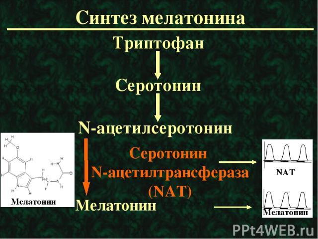 Синтез мелатонина Триптофан Серотонин N-ацетилсеротонин Мелатонин Серотонин N-ацетилтрансфераза (NAT) Мелатонин