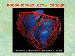 Кровеносная сеть сердца.